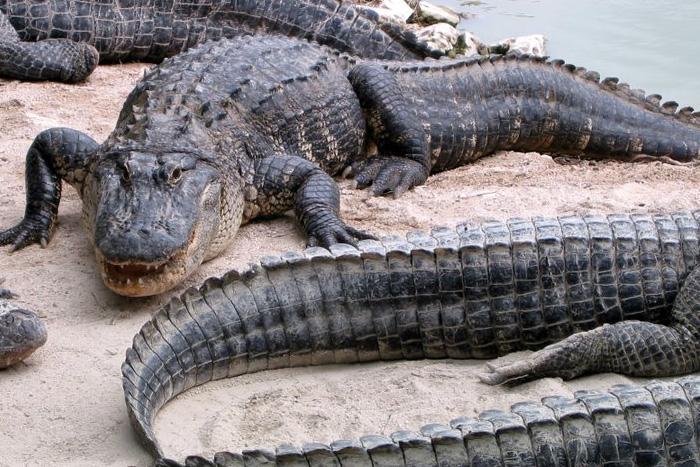 Everglades Alligator Farm in Miami Florida